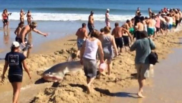 Beachgoers dragging the shark back into the ocean on Cape Cod, Massachusetts.