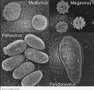 Representatives of the four 'giant' virus families: Mollivirus, Megavirus, Pithovirus and Pandoravirus under a scanning ...
