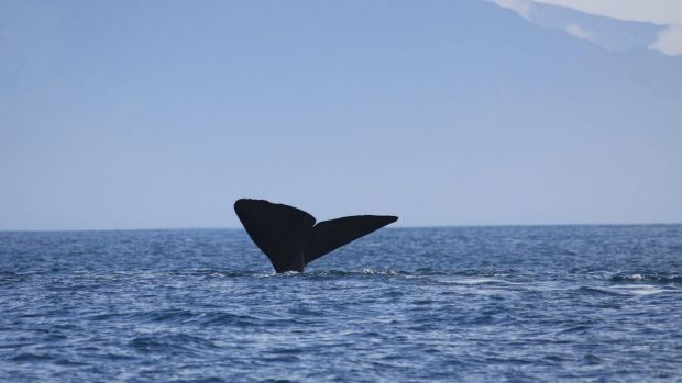 A new study has found different dialects evolve when whales learn and imitate coda sounds from their peers.