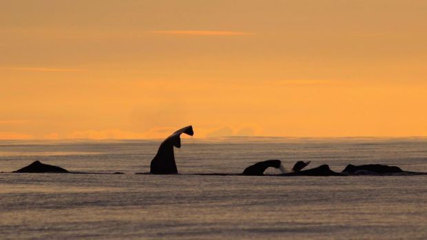 """Whale report author Mauricio Cantor: """"It's quite rare to find groups of animals of the same species in the same area ..."""