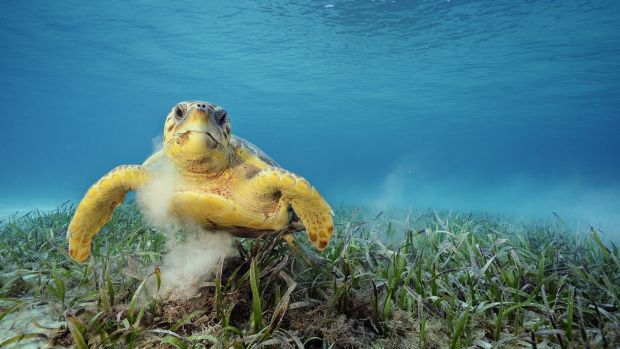 A loggerhead turtle swims among sea grass, which has a high capacity for storing carbon.