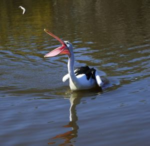 George the Australian pelican is fed by wildlife officer Leith Collard at Tidbinbilla.
