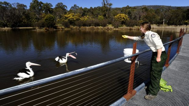 Wildlife officer Leith Collard feeds Australian pelicans, George and Mildred.