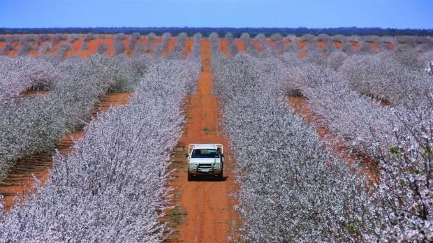 Australia biggest listed almond producer, Select Harvest, says the China trade deal will improve Australia's ...