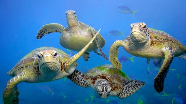 Green turtles swimming in the Great Barrier Reef, Queensland.