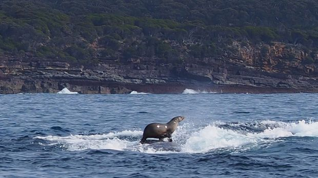 This seal hitched a ride on the back of a humpback whale.