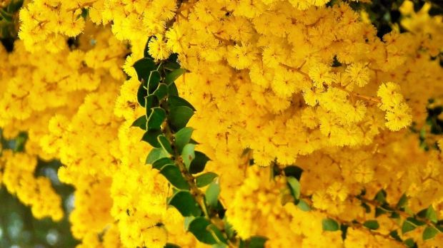Wattle (Acacia pravissima) has been the great witness to the whole Australian story and has the potential to unite the ...