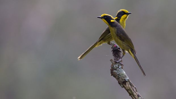 Zoos Victoria released 18 critically endangered captive-bred Helmeted Honeyeaters into their only viable habitat on the ...