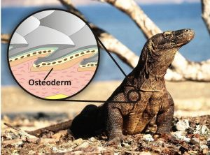The living Komodo dragon and illustration showing how the osteoderm bone reinforces the scales and acts like body armour.