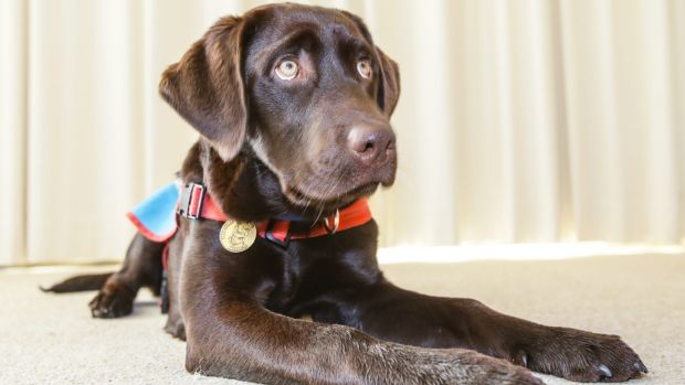 Five-month-old Radar is in basic training with Rosie Willett and her family for Assistance Dogs Australia.