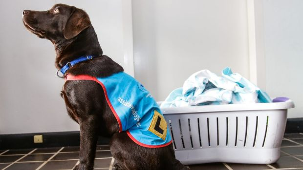 Five-month-old Radar is in basic training for Assistance Dogs Australia