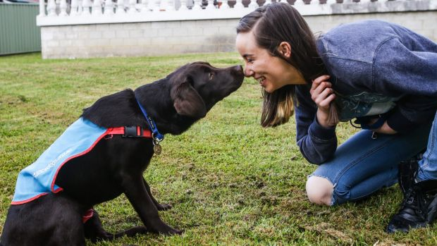 Radar is in basic training with Rosie Willett and her family for Assistance Dogs Australia.