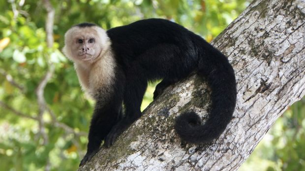 This is a White-faced Capuchin. Might you be a clever monkey?