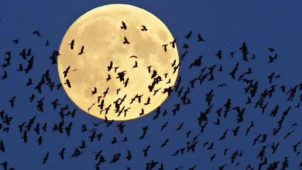 A flock of birds fly by as a super moon rises in Mir, Belarus, last year.