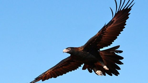 Wedge-tailed Eagles are big solid birds that soar high above and swoop down to take their prey - an apt description for ...
