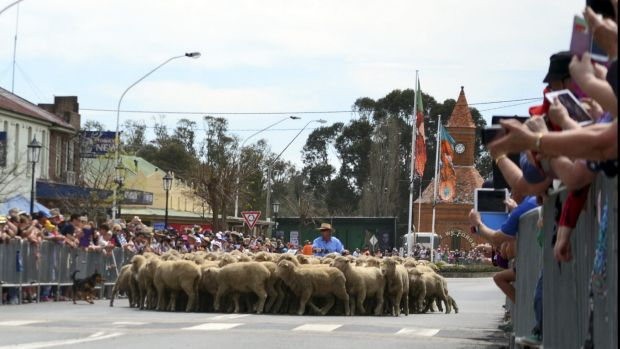 Sheep stop at a pedestrian crossing on Boorowa's main street during the town's annual Running of the Sheep.