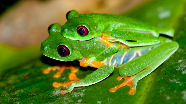 Mass extinction: The global frog population is under threat.
