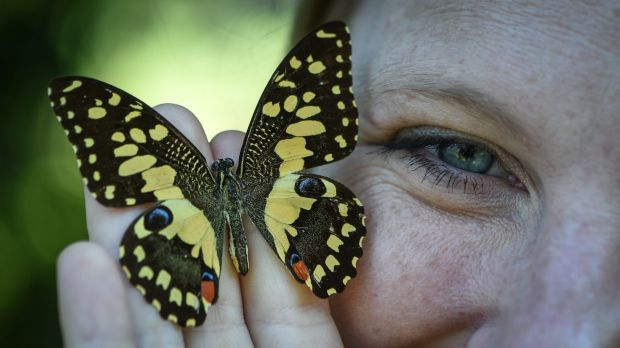 Butterflies are very hard to breed and there are only a handful of breeders across the country.