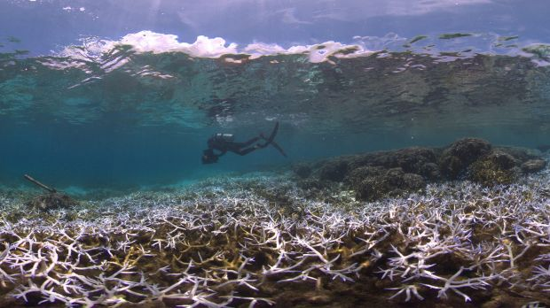 Bleaching on reefs in American Samoa.