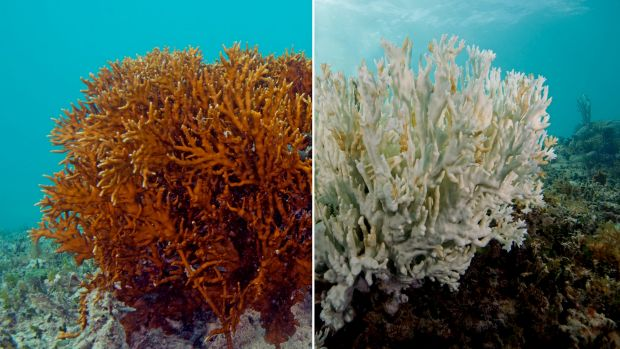 A fire coral in Bermuda. The one on the left is a healthy fire coral, while the one on the right is completely bleached.