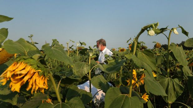 Sydney Morning Herald chief correspondent Paul McGeough picks sunflowers for the families and friends of victims who ...