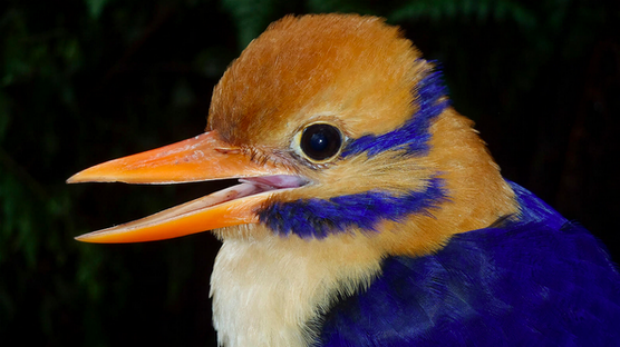 "Christopher Filardi, of the American Museum of Natural History, likened the moustached kingfisher to ""a creature of myth ..."