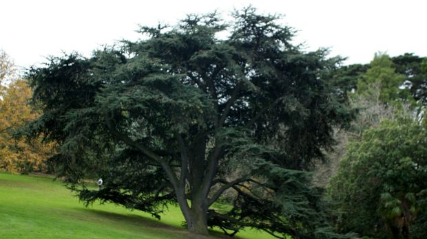 One of Melbourne's most valuable trees, the Cedar of Lebanon, in the Royal Botanic Gardens. Will it still be there in 2090?