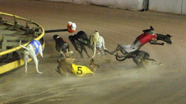 A bone-breaking crash, all too common in greyhound racing.