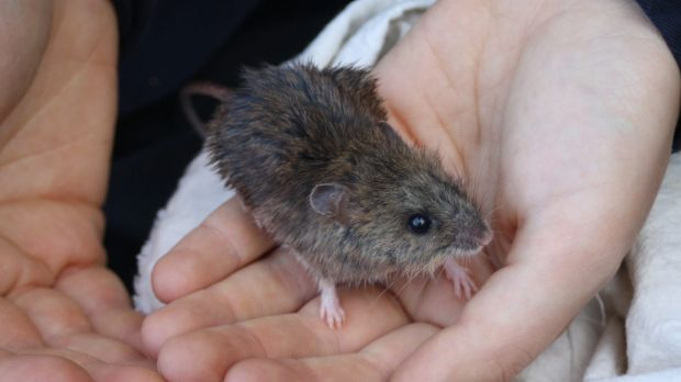 The male New Holland mouse found at Wilsons Promontory on Wednesday.