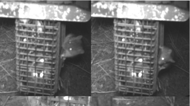 Infrared images of New Holland mice (left) and house mice (right).