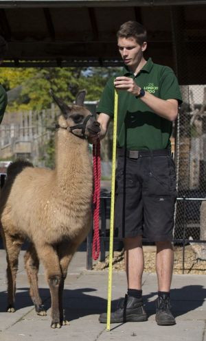 Llama keeper Adam Davies is at the centre of a love triangle that caused a violent row between rival keepers at London Zoo.