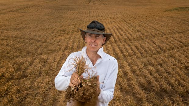 Brad Martin in a scorched and dead oats crop at Galaquil East grown by his family.