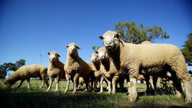 Sheep prices are beginning to rebound as buyers become concerned about supply shortages, Elders says.