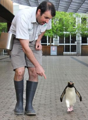 Fiordland crested penguin Munro with his keeper Jose Altuna.