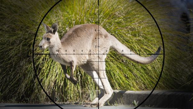 ACT Government has confirmed it will cull Eastern Grey Kangaroos before July 2017.