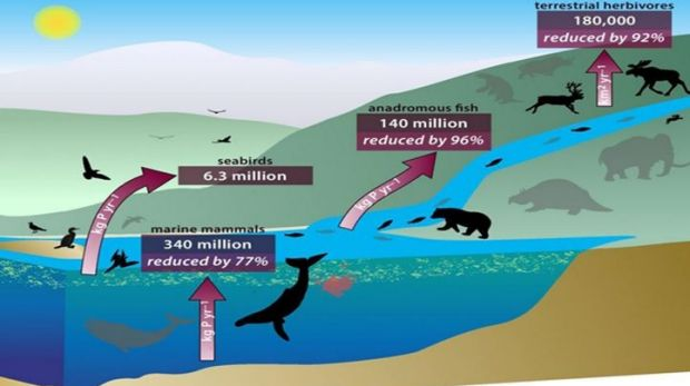 An interlinked system of animals carry nutrients from ocean depths to deep inland, through their poo, urine, and, upon ...