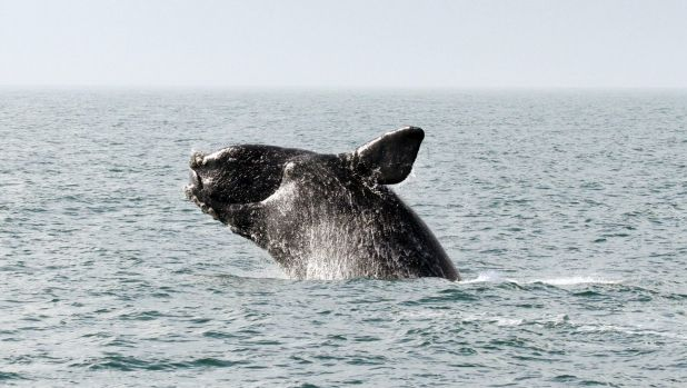 """Whales can act as a """"distribution pump,"""" transporting vital nutrients like phosphorus from the ocean floor to the ..."""