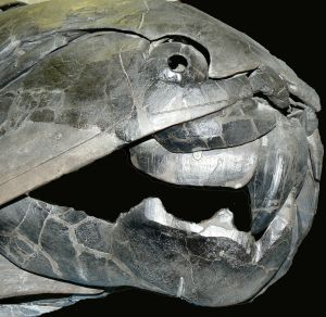 The large Dunkleosteus fish, which became extinct during the Devonian Period.