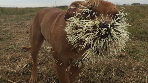 Nestah with a face full of porcupine quills.