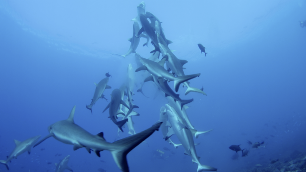 Grey reef sharks show off spectacular feeding behaviour in a video shot on a reef in  in French Polynesia.