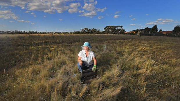 Victoria University environmental researcher Dr Megan O'Shea working in grasslands near Cairnlea,which are home to the ...