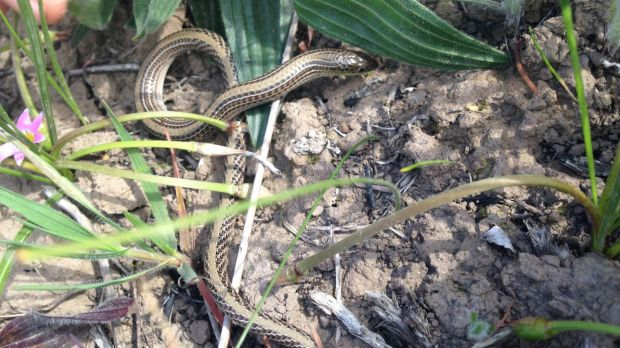 The government has dropped plans to relocate endangered striped legless lizards from areas earmarked for development.