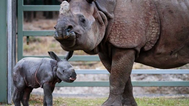 A male calf is the first Greater One-Horned Rhino to be born in Australia.