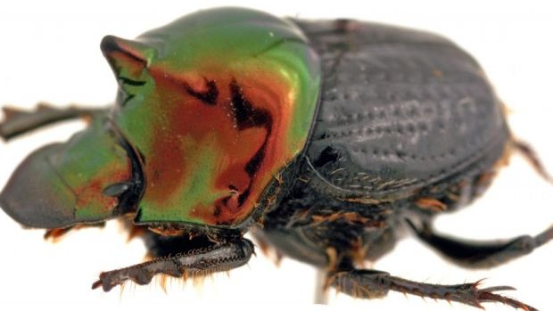 Dung beetles play a key role removing bush flies' favourite breeding ground: cow dung.