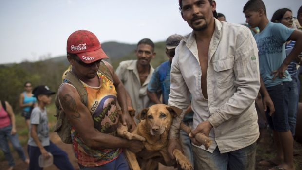 Men carry an injured dog on a makeshift stretcher after  rescuing it in  Bento Rodrigues, which flooded after dams burst ...