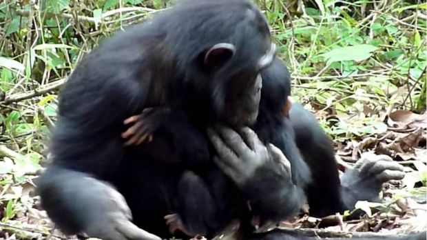Mother chimpanzee Christina cradles her disabled infant XT11.