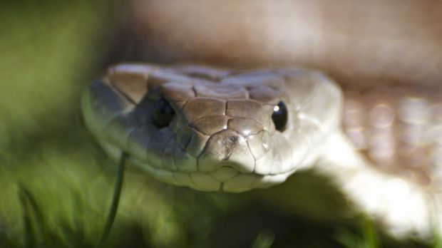 An expert says urban expansion could explain an increase in snakes bites in parts of southeast Queensland.