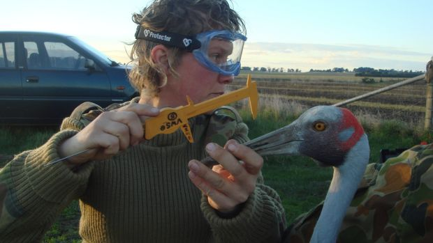 Inka Veltheim measures the head of a captured brolga.