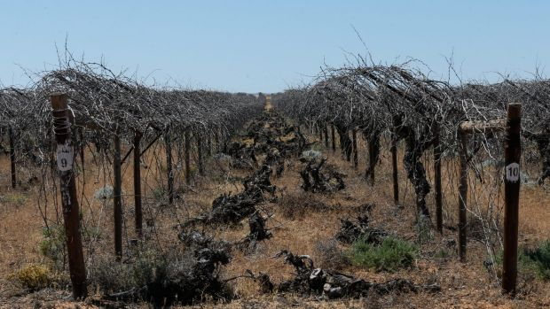 Dead grape vines outside Menindee.