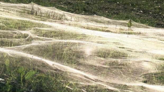 Tiny spiders leave a trail hundreds through Memphis grass over hundreds of metres.